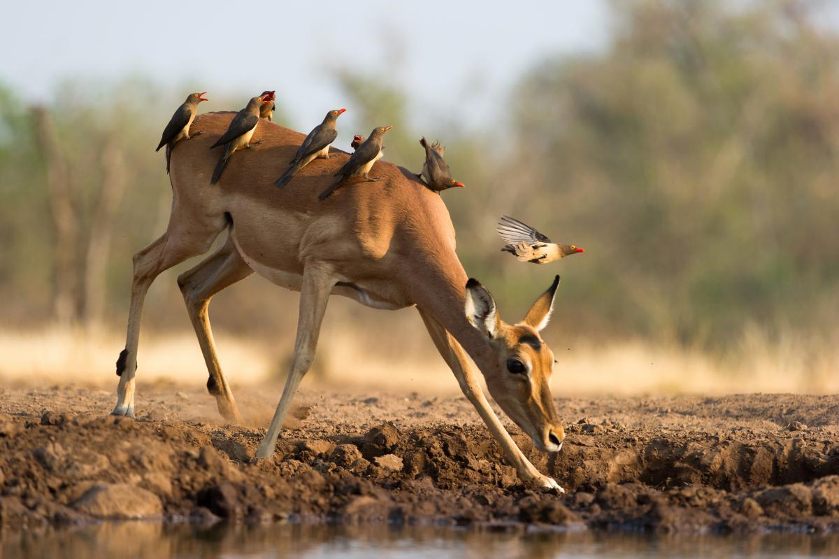 voyage-sur-mesure-au-Botswana-impala