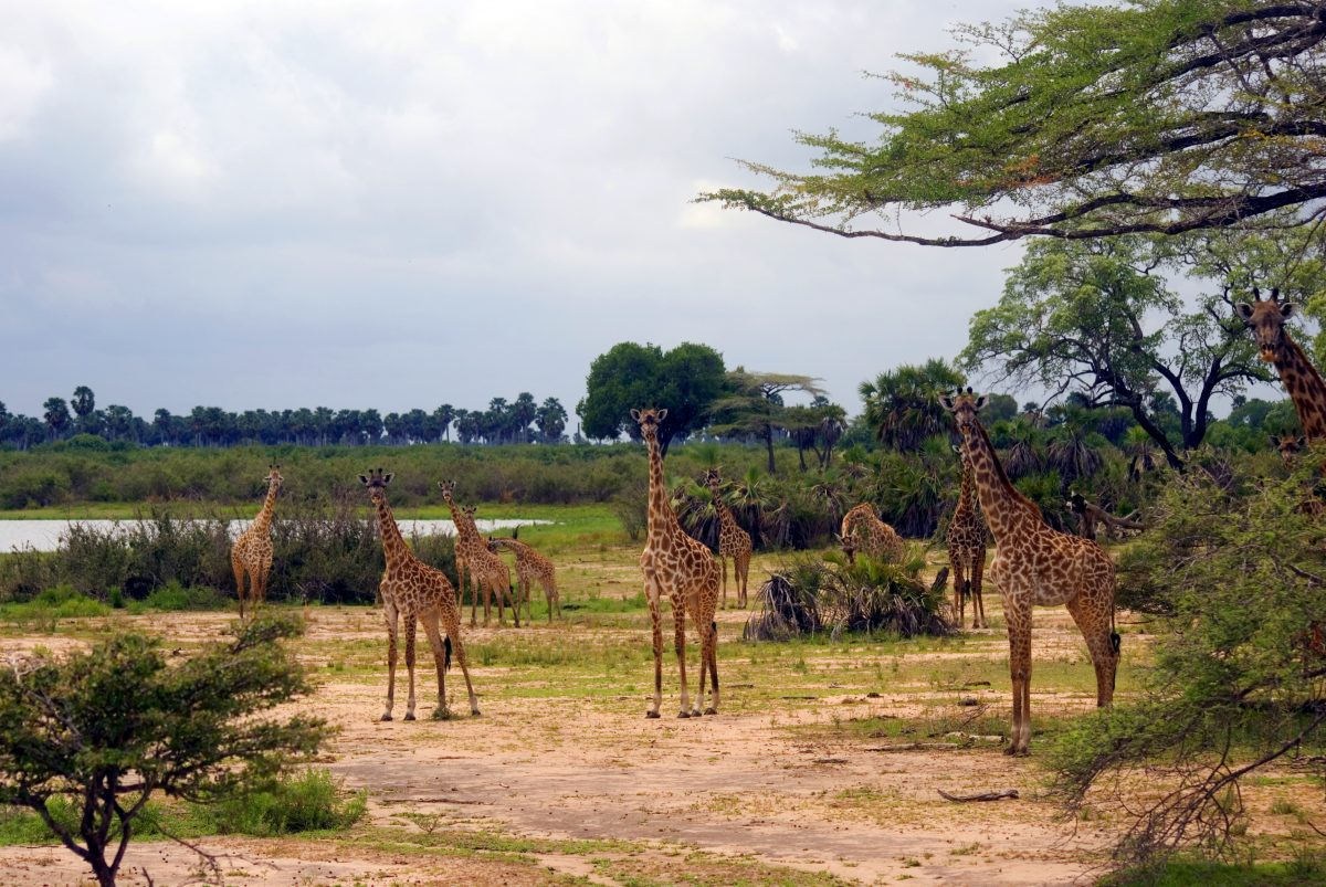 voyage-de-luxe-Tanzanie-girafes