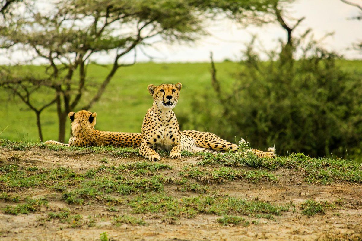 Voyage-de-luxe-Tanzanie-guepards
