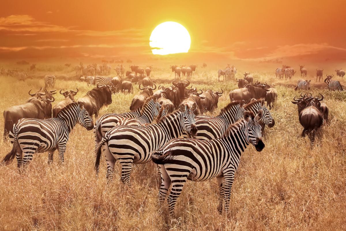 Voyage-de-luxe-Tanzanie-zebres