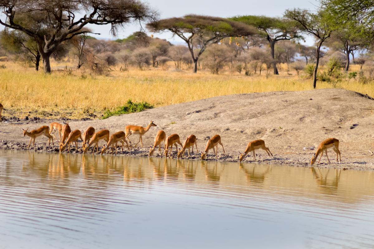 combine-safari-plage-tarangire-impalas