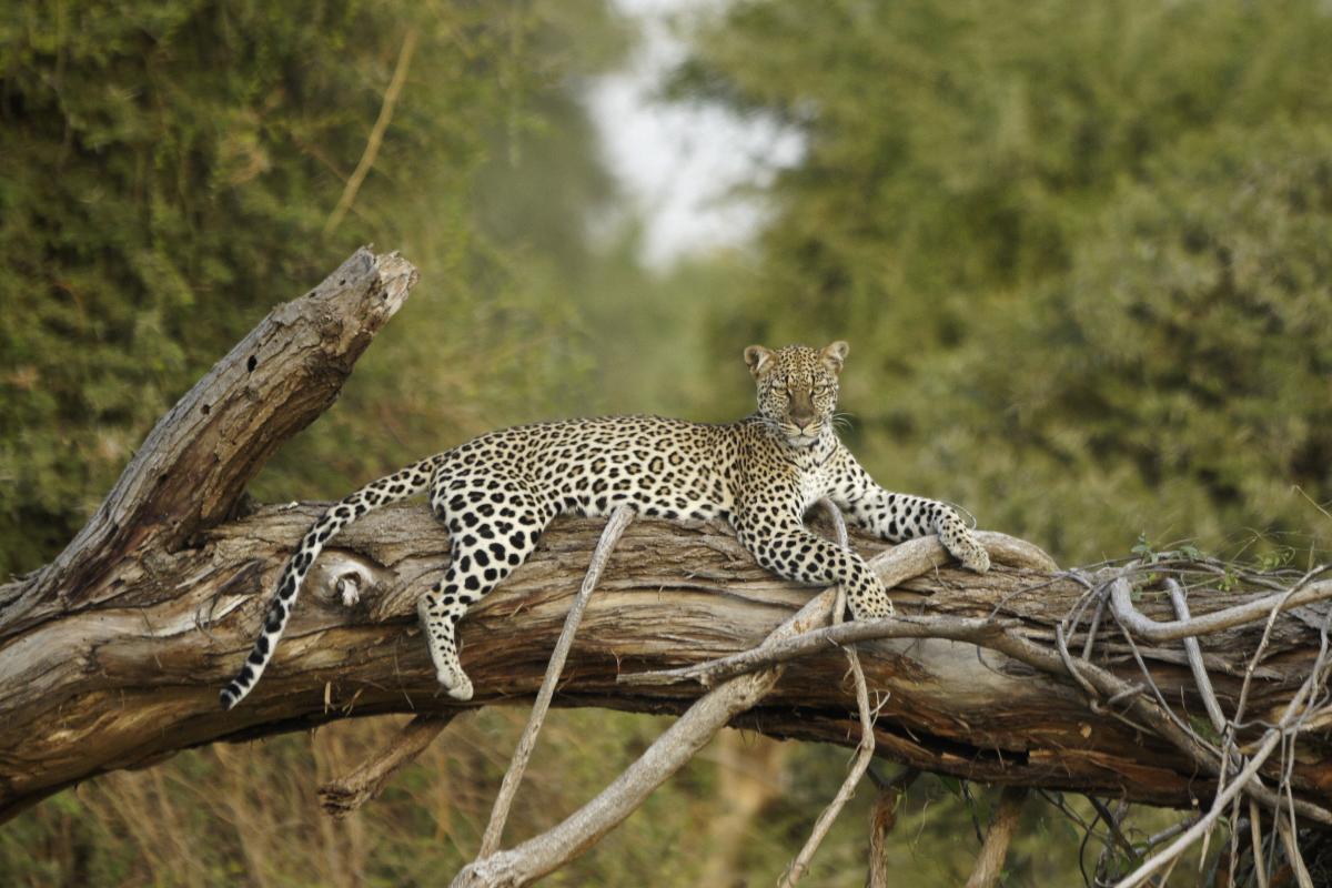 kenya-autrement-leopard-samburu