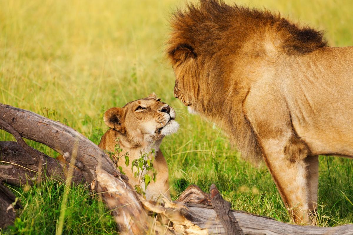 voyage-de-noce-afrique-couple-lions